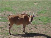 Eland, Werribee Zoo: by sandrad, Views[554]