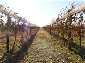 vines at Nanini bodega. where did all the grapes go?.... hicc... hicc...: by sarahandphil, Views[213]