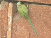 one of the many green parrots of Agra and Fatehpur Sikri: by sarahandphil, Views[382]