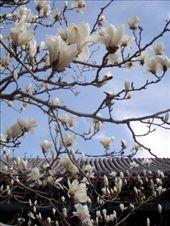 magnolia blossom : by sarahandphil, Views[107]