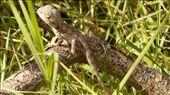 big-headed lizard in Botany Bay: by sarahandphil, Views[320]