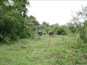 wild hefelumps: by scarlett333, Views[163]