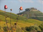 Roses and Weinsberg: by schona, Views[169]