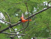 Scarlet minivet, Cong Vien Van Hoa Park: by seesea, Views[366]