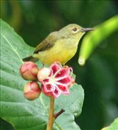 Red-cheeked sunbird, Similajau National Park, Borneo: by seesea, Views[474]