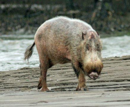 Bearded pig, Baku National Park, Borneo