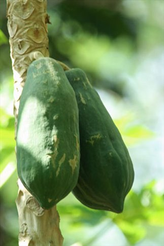 Papaya, too
