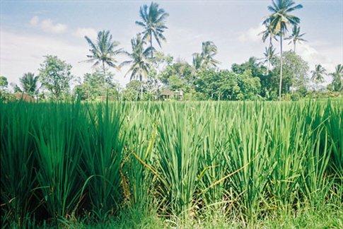 Rice paddy near Ubud