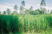 Rice paddy near Ubud: by seesea, Views[330]