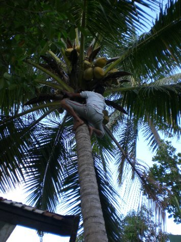 Getting the drinks - Hans climbs a coconut tree for our afternoon refreshment