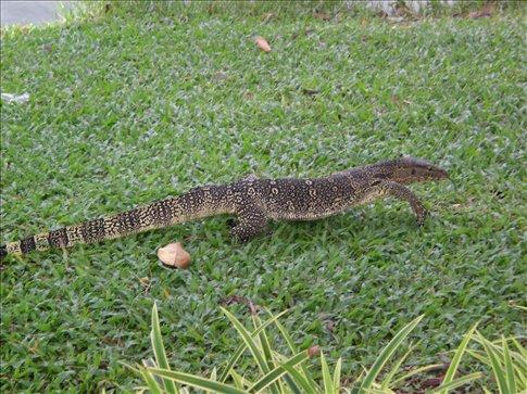 Britain has squirrels in the park, Bangkok has 5 foot lizards!