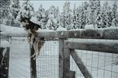 Kaarina was a lovely well-trained dog-sledding husky in Erä-susi, Ruka, East Finland. After a tiring 20km dog-sled run, drained of energy, it still hung itself over the fence as a warm gesture to bid us goodbye.: by sereneleong, Views[1559]