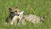 Baby Thompson Gazelle's Death: by serengeti_spectacle, Views[110]