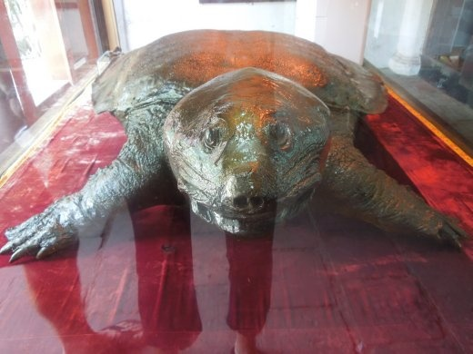 Giant Huan Kiem Lake tortoise!