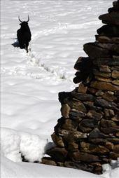 Dzo: Half Yak, Half Cow: by shane-erickson, Views[110]