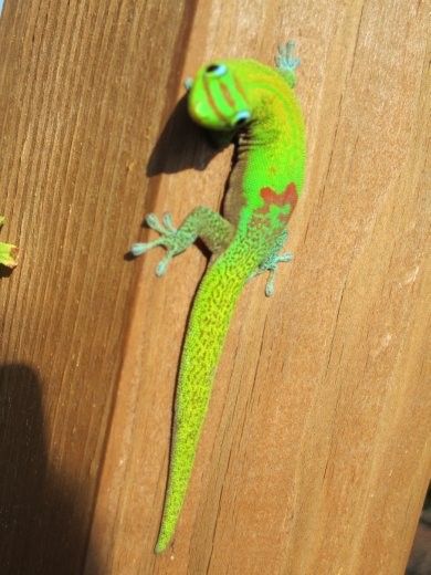 There is a family of geckos that live on our yurt.. SO cute :)