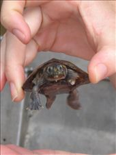 Baby river turtle- i want to take him home: by shannon-andy, Views[182]