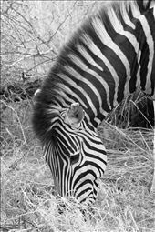 Taken in Kruger National Park. Astonishingly beautiful Zebra. So calm.: by shannonjw, Views[130]