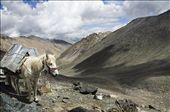 Ladakhi ponies make for hardy companions for anyone trying to cross the high mountain passes that Ladakh is famed for and named after. This is at Digar La, at 5,300m to 5,400m - depending on whom you ask.: by sharsidd, Views[561]