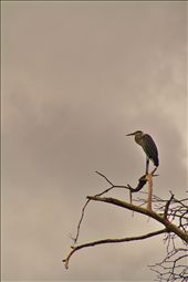Heron watching the tide roll in in Corcovado National Park.: by shatekay, Views[120]
