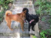 Gordon (Brown) and Obama, the two 18 month old dogs at resort that are actually brothers and from the same litter.: by shazbot, Views[261]