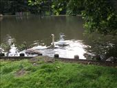 Anywhere there is water here there seems to be Swans. Finally here is a photo!: by shire_girl, Views[143]