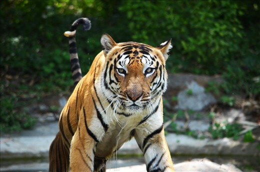 Royal Bengal Tiger with innocent and inquisitive eyes