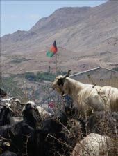 Munching away obliviously in front of the Afghan flag: by shrummer16, Views[97]