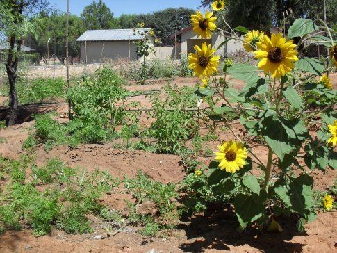 Sunflowers, carrots, and melon in the foreground, and tomatoes in the background