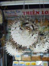 In China, these great (dried) puffer fish were hanging EVERY WHERE in a market: by sianmercel, Views[197]