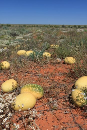 Paddy Melons growing wild on the side of the road everywhere - poisonous to stock....makes them go blind.