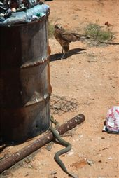 Next to the yellow bus, lerking in the shadows, a King Brown Snake...the falcon saw him before we did.: by siblysgotroppo, Views[782]