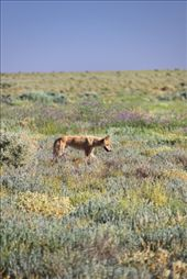 Our first dingo sighting.: by siblysgotroppo, Views[340]
