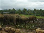 Wild Sri Lanka: elephants getting ready for a bath: by silviaemilia, Views[154]