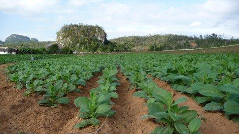 Tabacco fields in Viñales