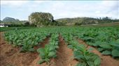 Tabacco fields in Viñales: by simon_castles, Views[457]