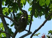 Two toed sloth: by simon_castles, Views[150]