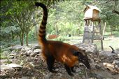 A friendly coati at´La Senda Verde´ animal sanctuaryCoati: by simonefrancis, Views[1233]
