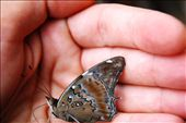 A butterfly in the Ecuadorian Amazon: by simonefrancis, Views[428]