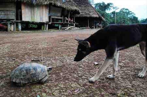 Dog sniffing turtle in Juyuintza village, Amazon