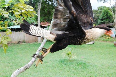 An eagle near San Cristobal, in the botanic gardens