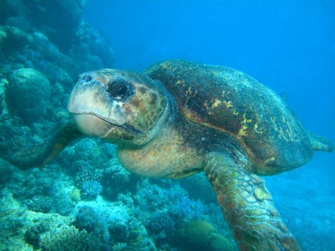 The turtles do come this close diving on the Great Barrier Reef, Cairns with Silver Swift