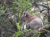 Koala land..eating gum tree leaves : by slk, Views[373]