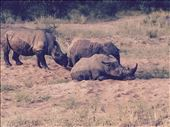 Rhinos mud bathing to cool off.: by smithtravel, Views[89]