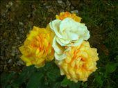 Roses: by sohailanwar1959, Views[78]