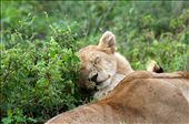 A young lion cub sleeps happily in the sun, awaiting the day he becomes king: by sonyagoestotanzania, Views[294]