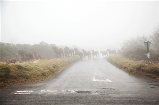 The herds on Exmoor roam over the 300 square mile National Park conservation grazing. The importance of what the people in the local communities are trying to preserve is rarely herd of outside of the area. This particular herd has been overseen by the Wallace family, for a Century. Many breed experts believe these animals bare the closest possible resemblance to the primitive wild horse, first recorded in the UK in 70,000 BC. Soldiers poached them during the 1st and 2nd World Wars for their meet.