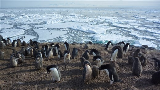 The hustle and bustle of a penguin colony.