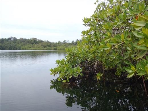 Exiting interior mangrove pond study site - Bocas del Toro