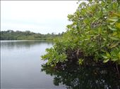 Exiting interior mangrove pond study site - Bocas del Toro: by soulenfish, Views[13]